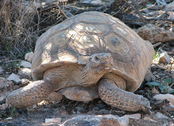 "BrightSource's ""Head Start"" for Desert Tortoises"