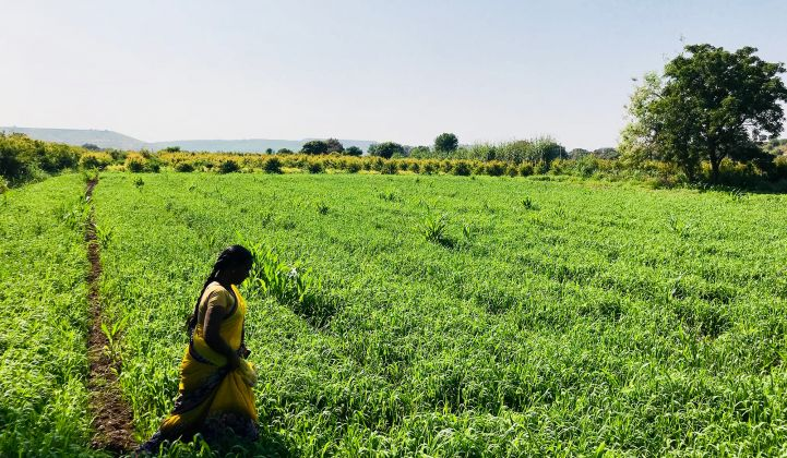 A farmer in Aurangabad, India walks through her fields. She is gaining access to urban markets by working with Factor[e]'s portfolio companies.